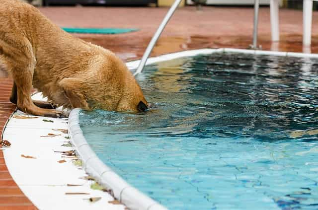 Dog going in the pool to learn swimming