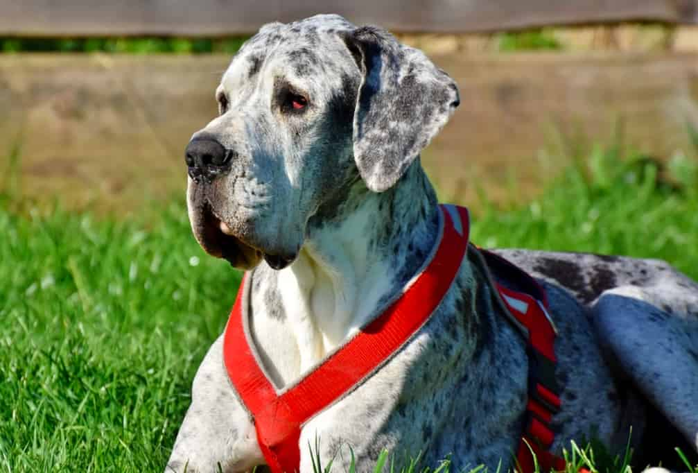 Best Great Dane life jackets you can get for your Great Dane