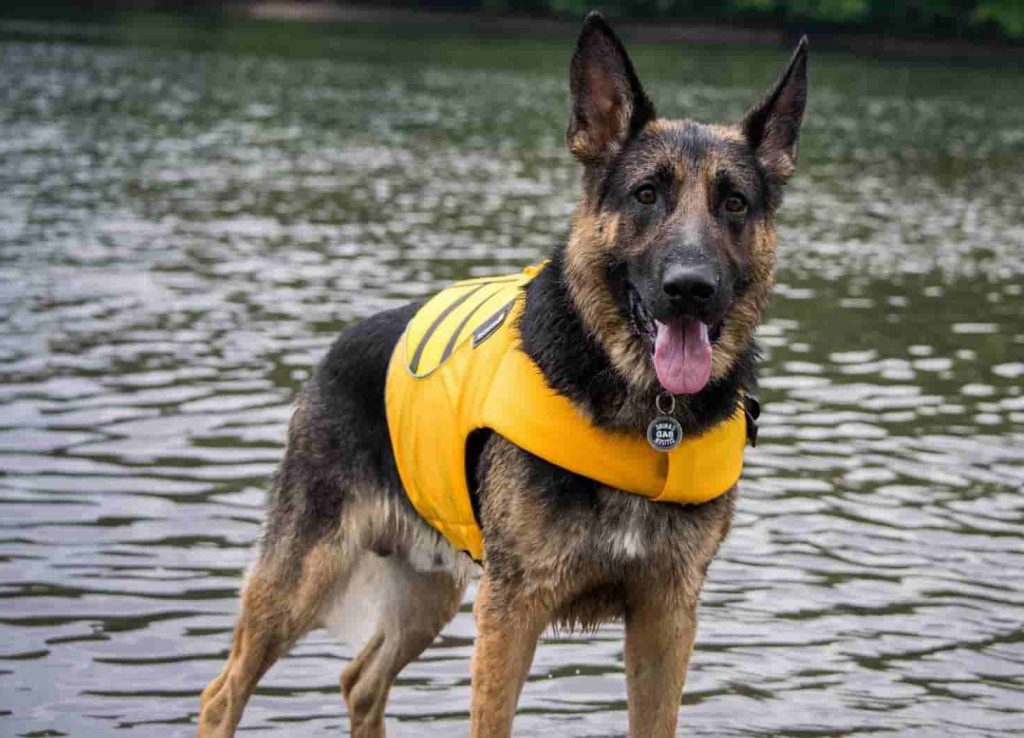 German shepherd wearing a life jacket on a boat near a lake